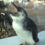 ペンギン あくび1